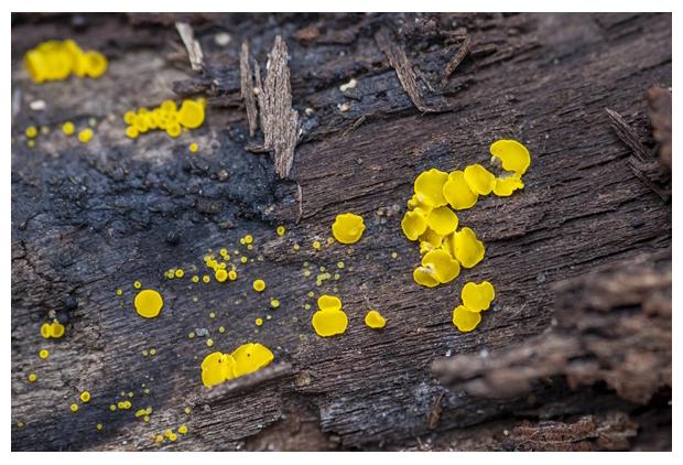 foto, Geel schijfzwammetje (Bisporella citrina), paddenstoel