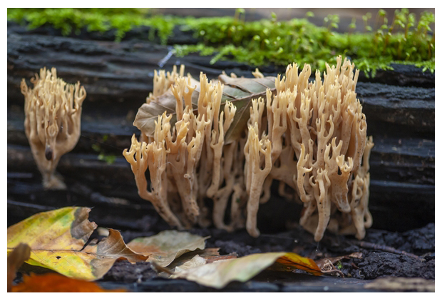 foto's, Rechte koraalzwam (Ramaria stricta), paddenstoel