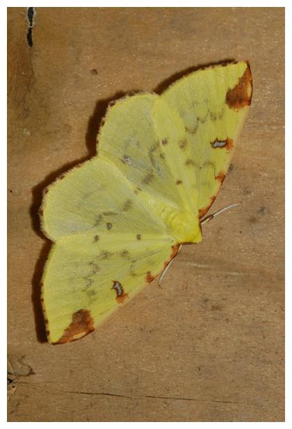 foto's, Hagedoornvlinder (Opisthograptis luteolata), nachtvlinder