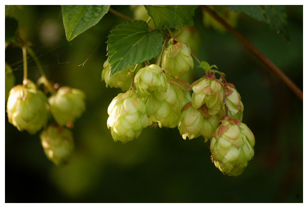 foto's, Hop (Humulus lupulus), klimplant