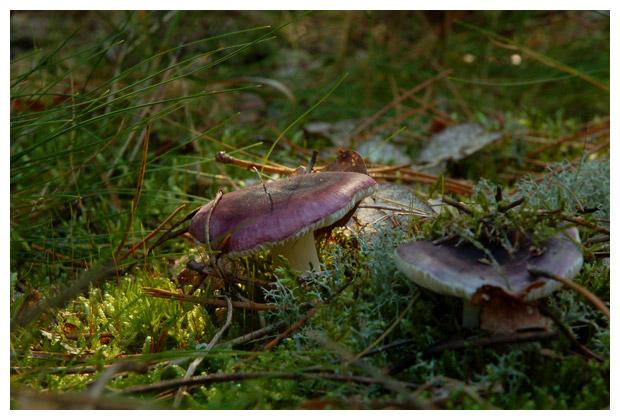foto´s, Zwartpurperen russula (Russula atropurpurea), paddenstoel