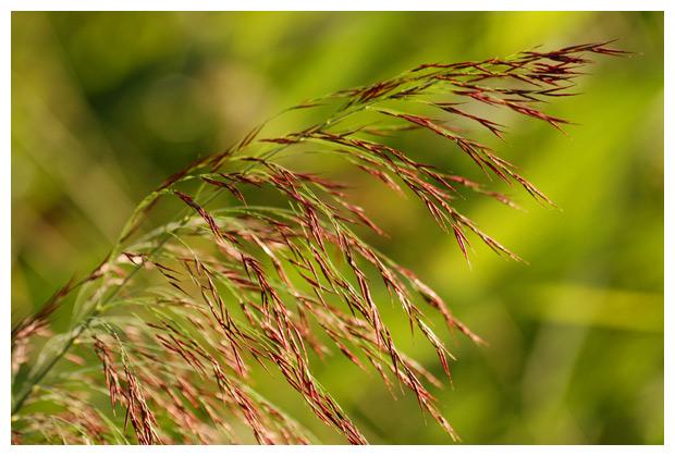 Echt riet (Phragmites australis syn. Phragmites communis)