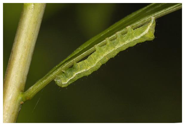 foto's, Agaatvlinder (Phlogophora meticulosa)
