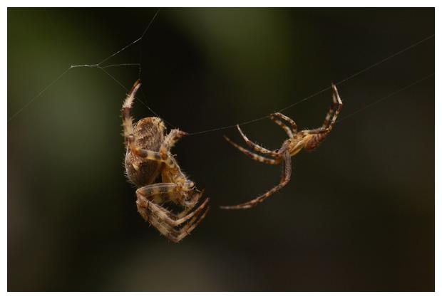 foto's, Kruisspin (Araneus diadematus), spin