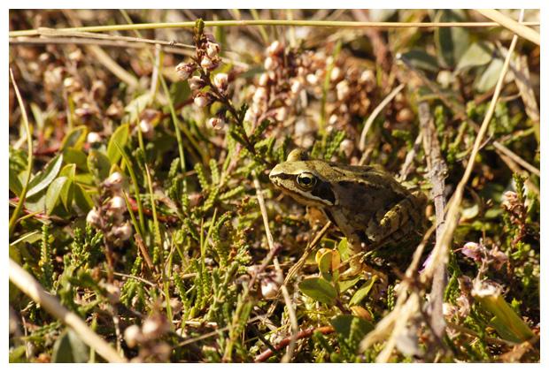 foto's, Bruine kikker (Rana temporaria), kikkers (ranidae), amfibie