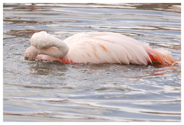 gewone of Europese flamingo (phoenicopterus roseus)
