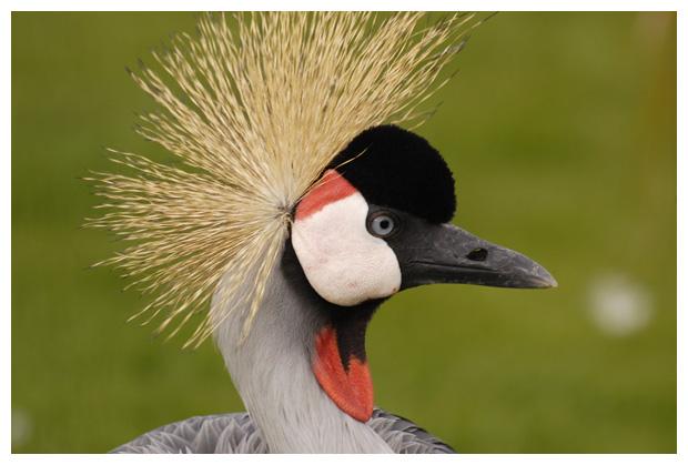 foto's, Grijze kroonkraan of kroonkraanvogel (Balearica regulorum), kraanvogel