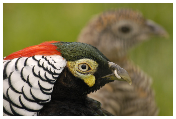 foto's, Lady amherst's pheasant (Chrysolophus amherstiae), fazant
