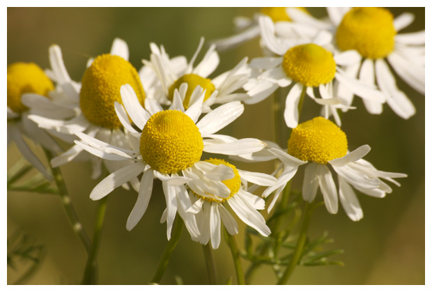 foto's, Echte kamille (Matricaria recutita, matricaria chamomilla), plant