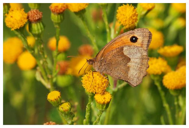 foto's, Bruin zandoogje (Maniola jurtina), vlinder