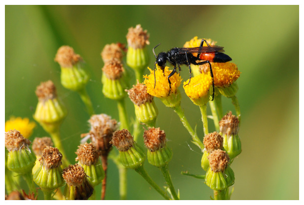 foto´s, Ruige aardrupsendoder (Podalonia hirsuta), wesp, insect