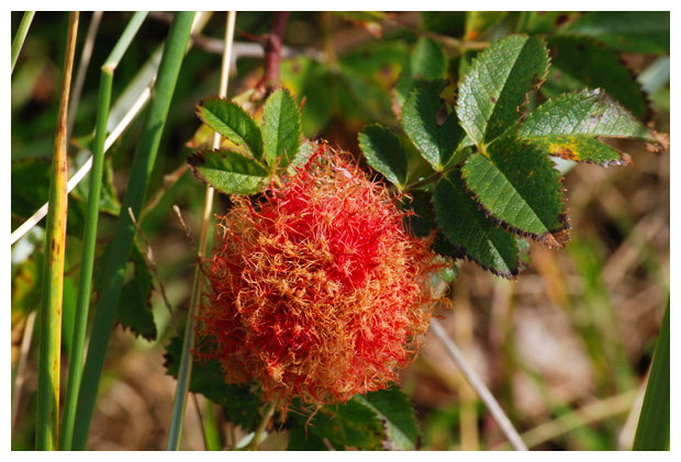 foto´s, Rozengal, Bedeguaargal , Slaapappelgal  (Diplolepis rosae), gal