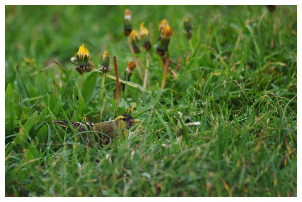 foto's, Sijs (Carduelis spinus), vogel