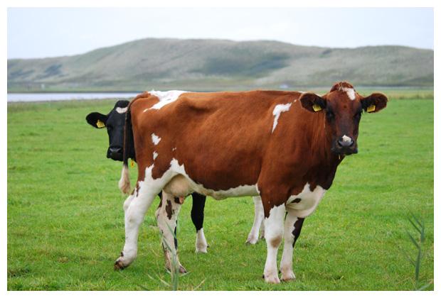 foto´s Red Holstein Frisian, bruin / wit
