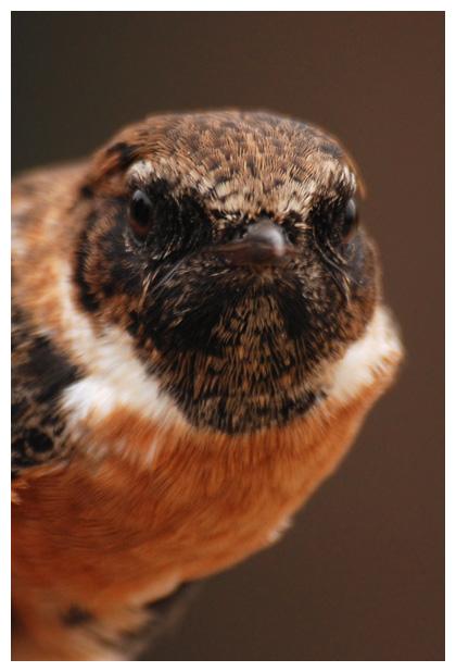 foto´s, Roodborsttapuit (Saxicola rubicola), tapuit