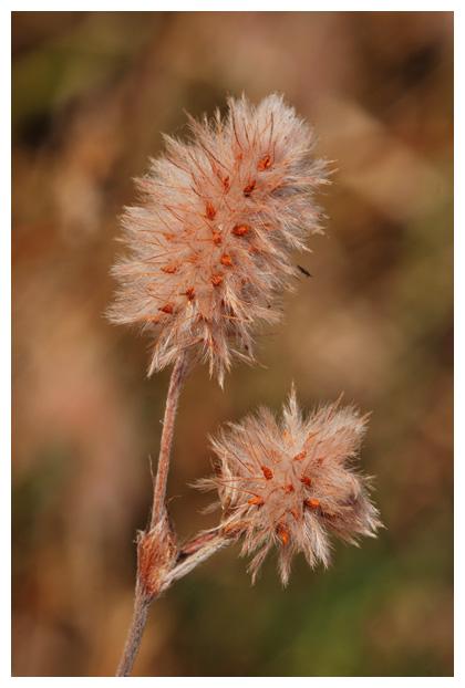 foto's, Hazenpootje (Trifolium arvense), plant