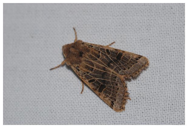 foto´s, Maansikkeluil (Agrochola lunosa), nachtvlinder