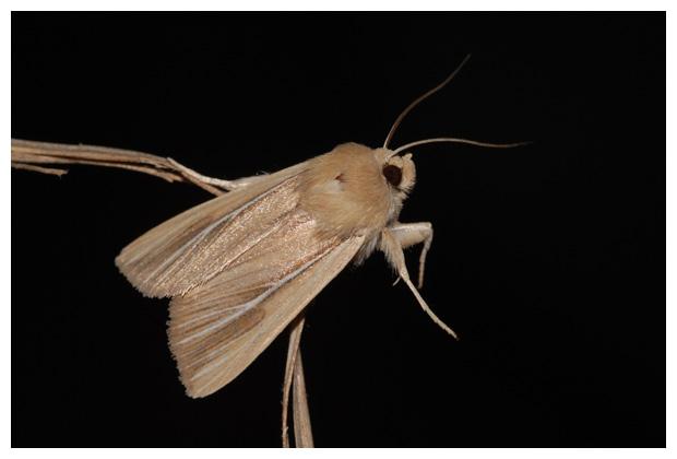 foto´s, Helmgrasuil (Mythimna litoralis), nachtvlinder