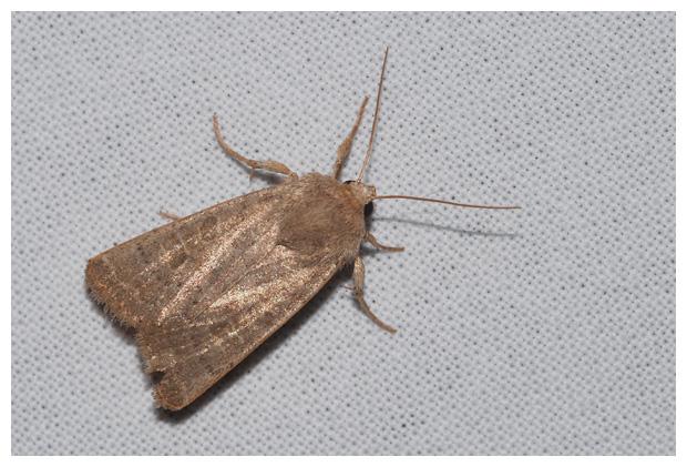 foto's, Zuidelijke stofuil (Hoplodrina ambigua), nachtvlinder