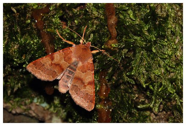 foto's, Roodachtige herfstuil (Agrochola helvola), nachtvlinder