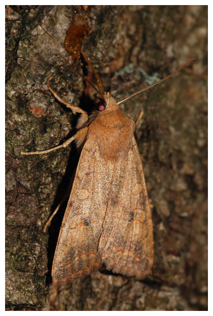 foto´s, Bruine herfstuil (Agrochola circellaris), nachtvlinder