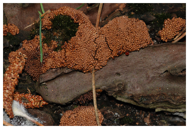 foto's, Glanzend druivenpitje (Leocarpus fragilis), paddenstoel