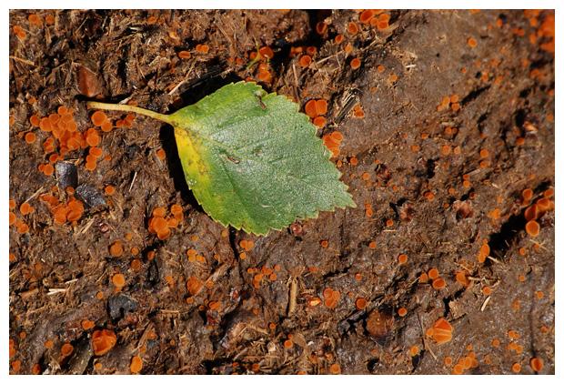 foto's, Oranje mestzwammetje (Cheilymenia granulata), paddenstoel