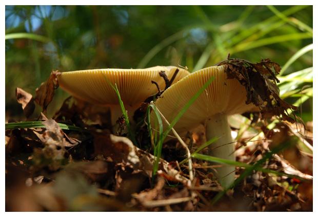 foto's, Gele berkenrussula (Russula claroflava), paddenstoel