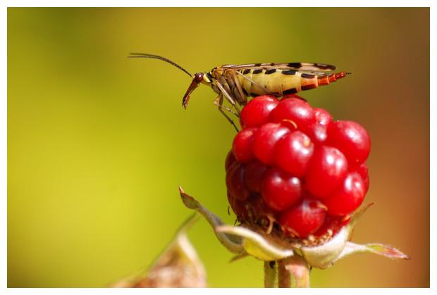 foto's, Schorpioenvlieg (Panorpidae), vlieg