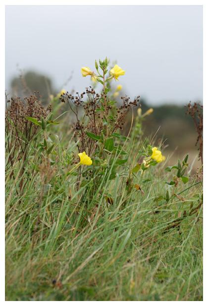 foto's, Grote teunisbloem (Oenothera glazioviana of erythrosepala), plant