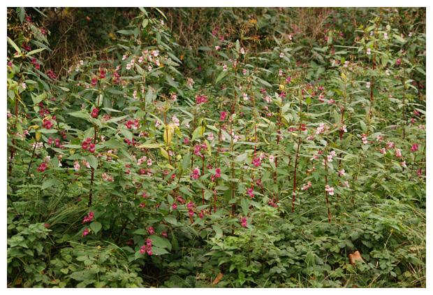 foto's, Reuzenbalsemien of springbalsemien (Impatiens glandulifera)