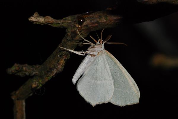 foto's, Appeltak (Campaea margaritaria), nachtvlinder