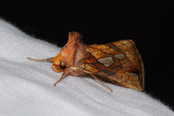 foto's, Goudvenstertje (Plusia festucae), nachtvlinder