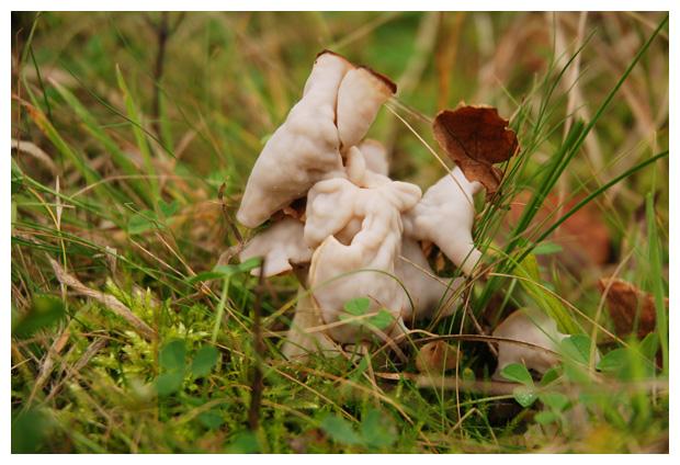 foto´s, Witte kluifzwam (Helvella crispa), paddenstoel