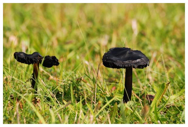 foto, Zwartwordende wasplaat (Hygrocybe conica), paddenstoel