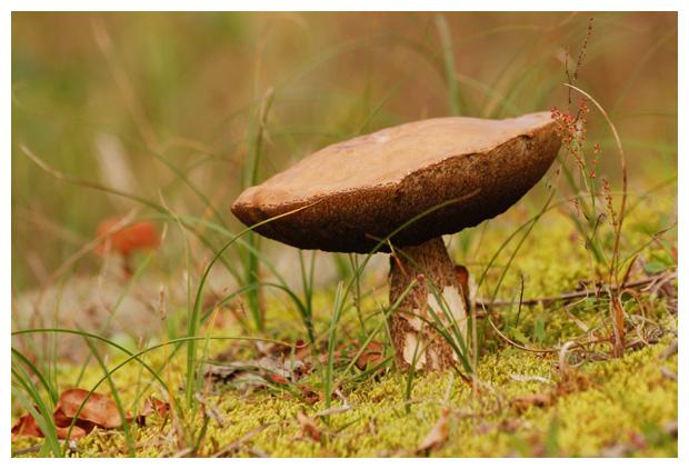 foto´s, Bruingrijze berkenboleet (Leccinum cyaneobasileucum), paddenstoel