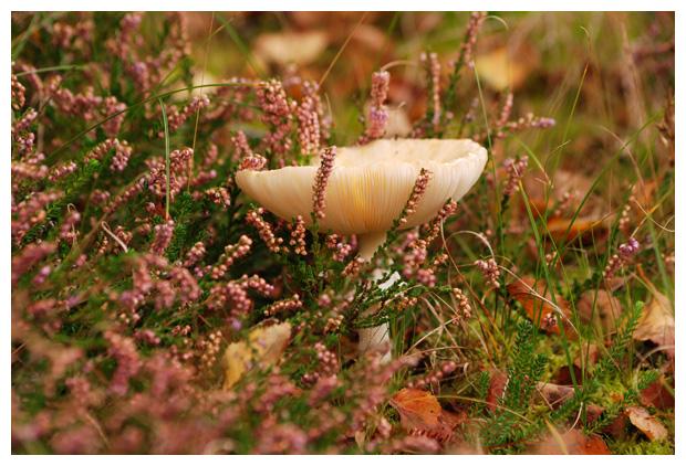 foto's, Vliegenzwam (Amanita muscaria), paddenstoel