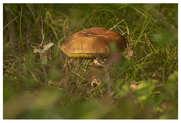 foto's, Gewoon eekhoorntjesbrood (Boletus edulis), paddenstoel