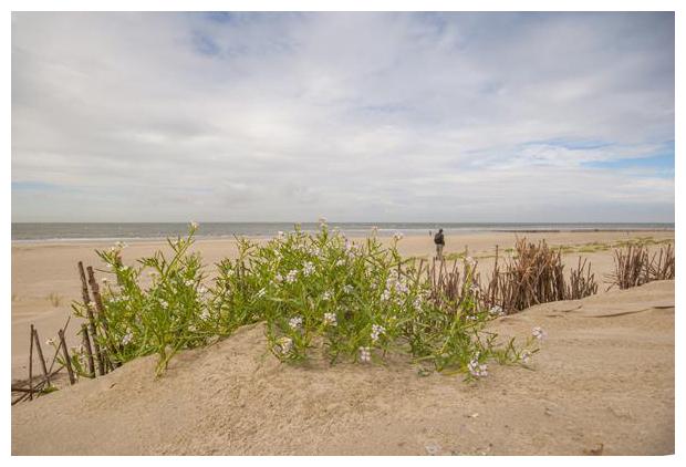 foto´s, Zeeraket (Cakile maritima), zoutminnende plant