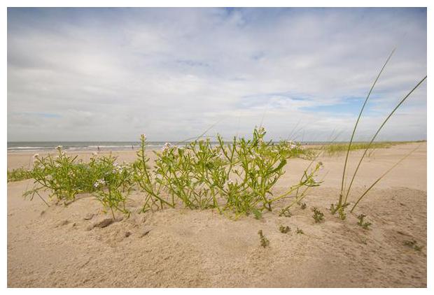 foto's, strand, kwelder, kwelderplanten, schorren, planten zee, duinen