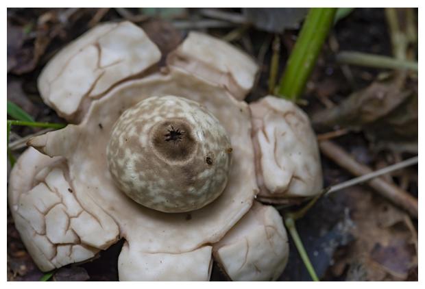 foto, Gekraagde aardster (Geastrum triplex), paddenstoel