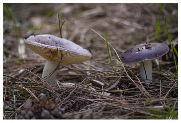 foto´s, Papilrussula (Russula caerulea), paddenstoel