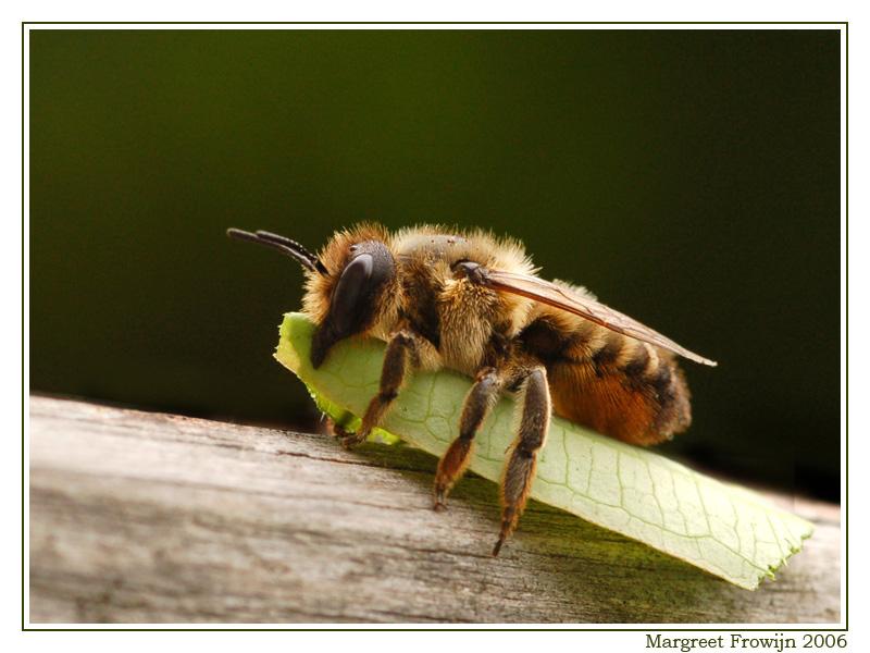 behangersbij, bij, bijen, wallpaper, wallpapers, achtergrond