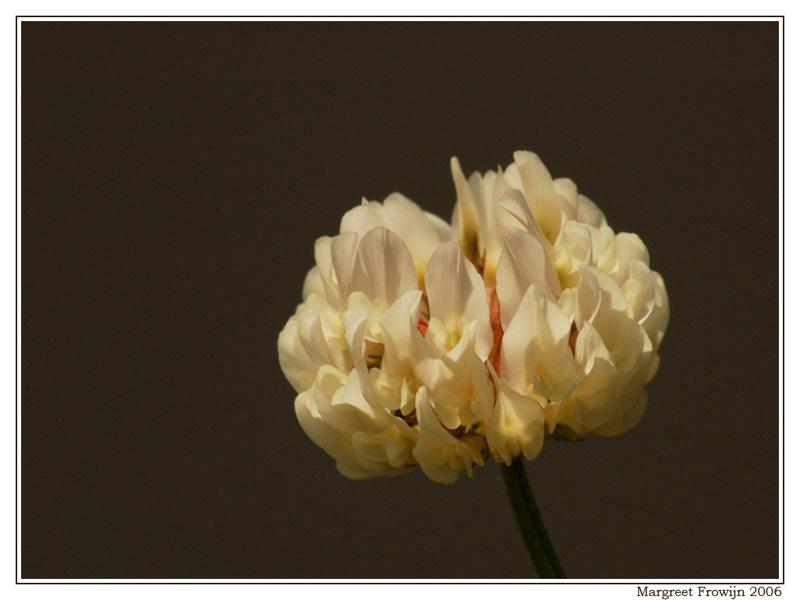 witte klaver, bloem, bloemenwallpaper, wallpaper, wallpapers, achtergrond