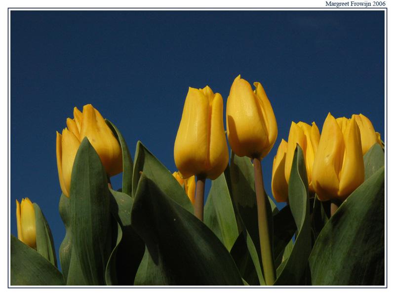 tulp, bloemenachtergrond, bloemenachtergronden, bloemenachtergrondje, bloemenachtergrondjes