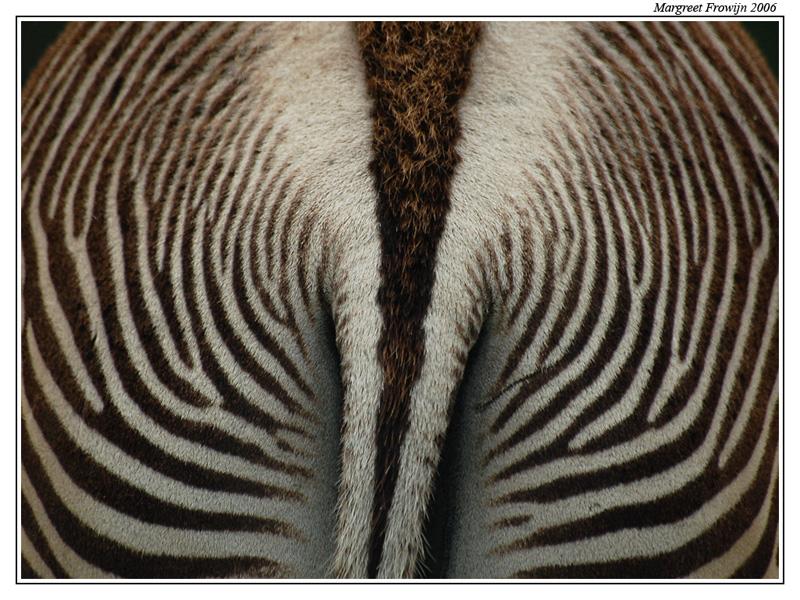 zebra, wallpaper, wallpapers, achtergrond