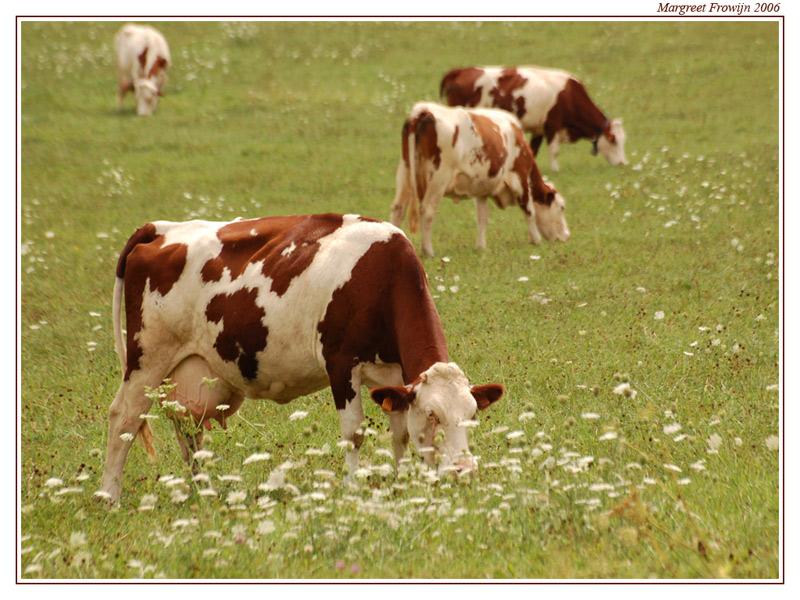 bruine koe, koeien, wallpaper, wallpapers, achtergrond