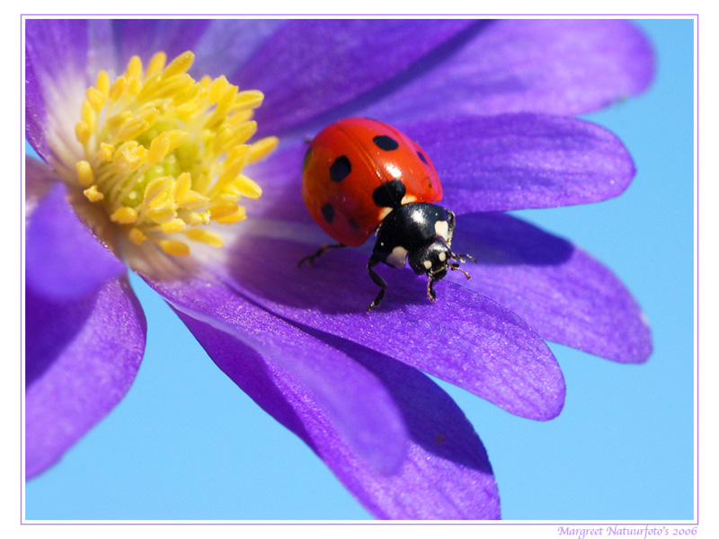 lieveheersbeestje, lieveheersbeestjes, wallpaper, wallpapers, achtergrond