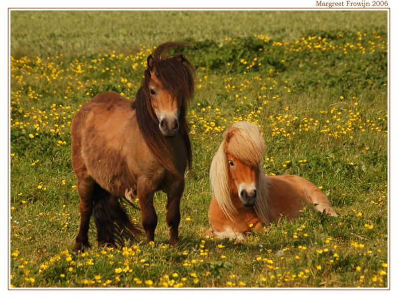 paard,  paarden, pony, wallpaper, wallpapers, achtergrond