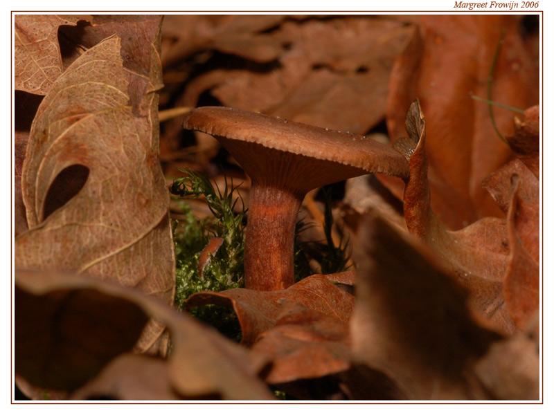 paddestoel, paddestoelen, herfst, herfstwallpaper